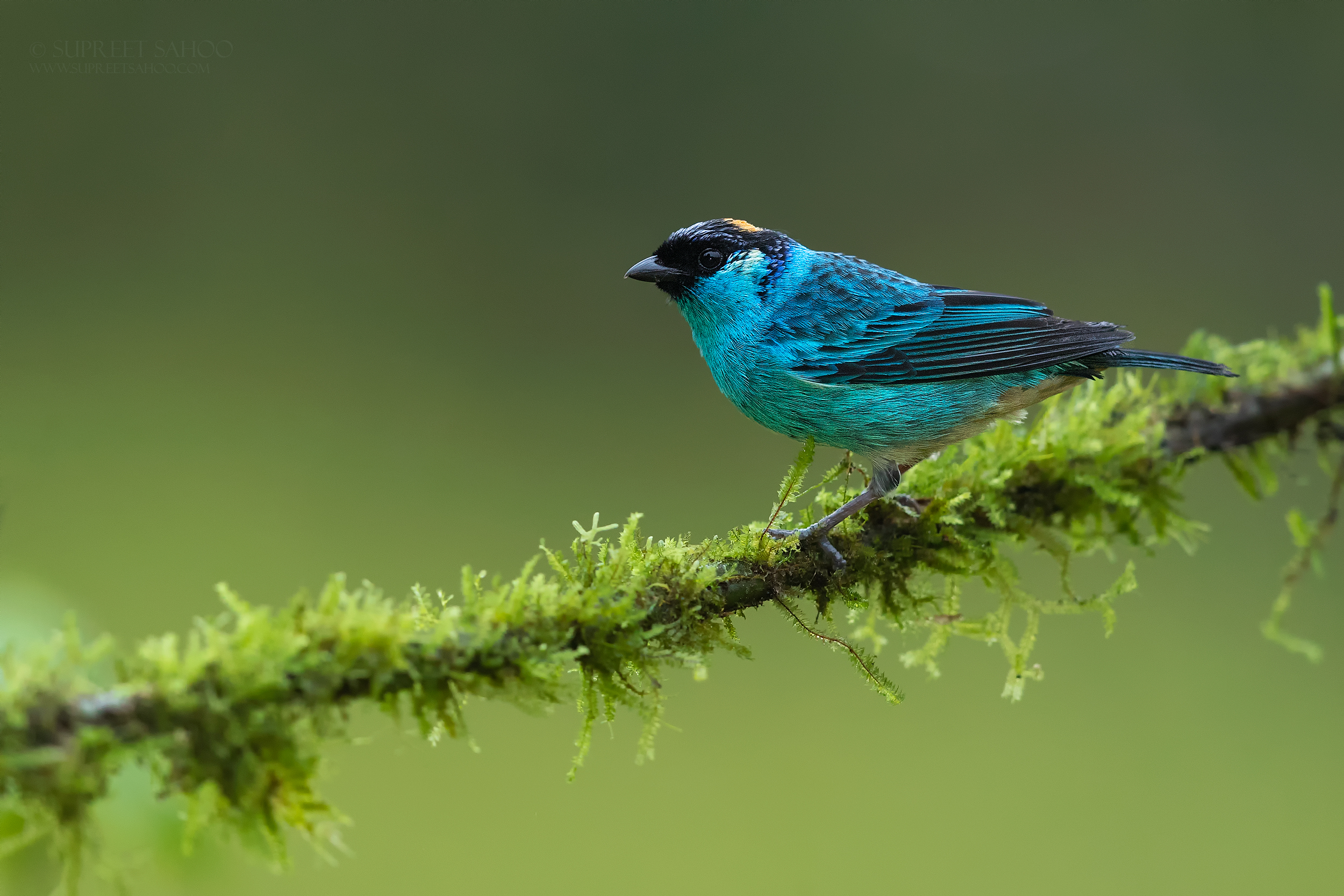 Golden naped tanager