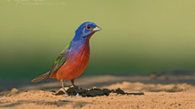 Painted Buntings of South Texas