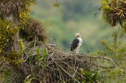 Ornate hawk eagle juvenile