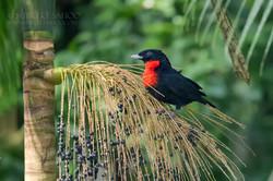 Red ruffed fruit crow