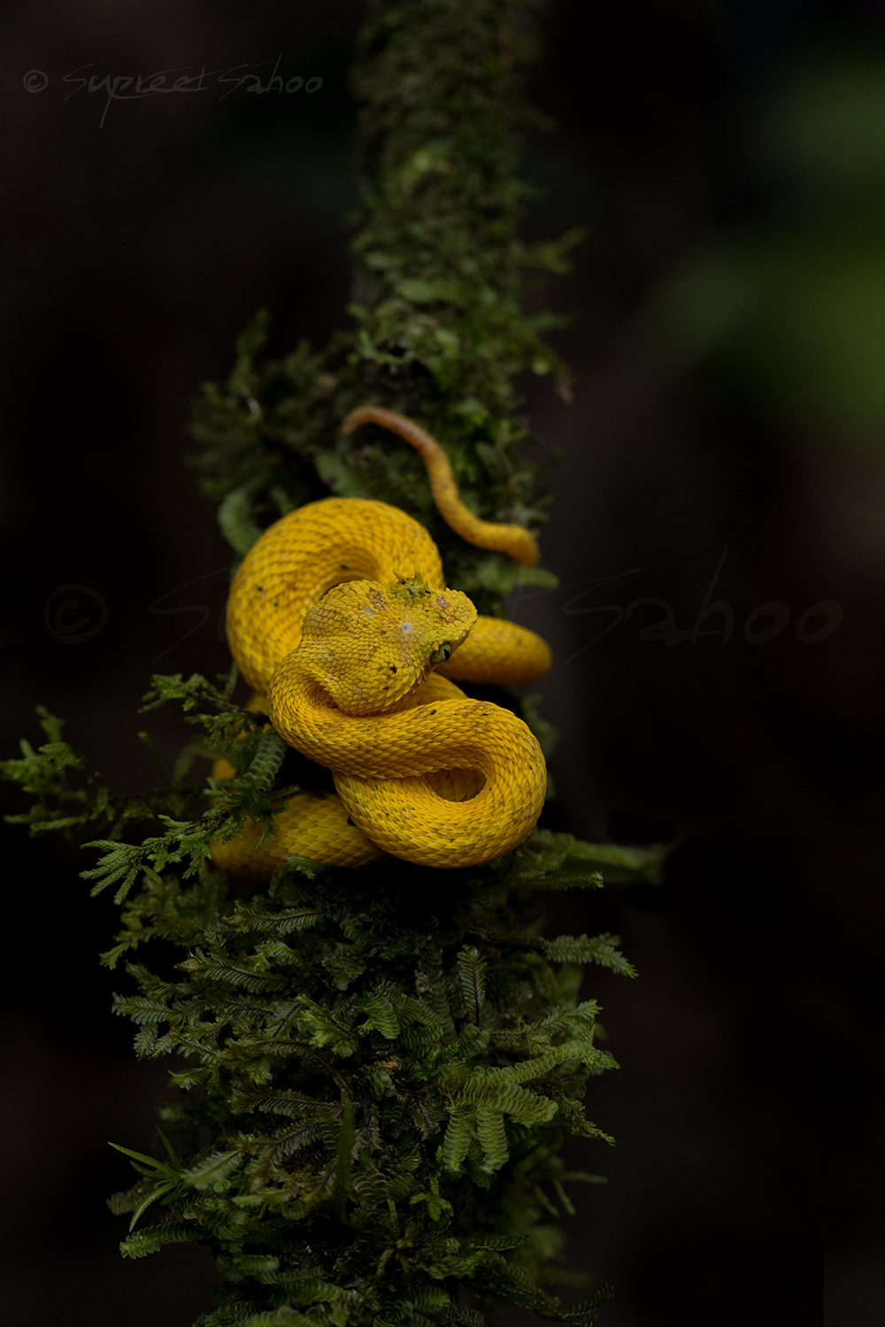 Eyelash Viper (Yellow morph)