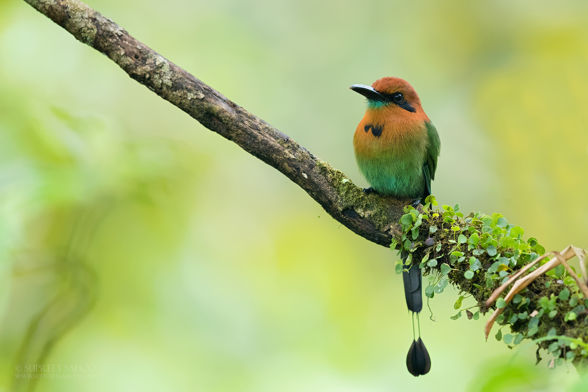 Broad billed motmot