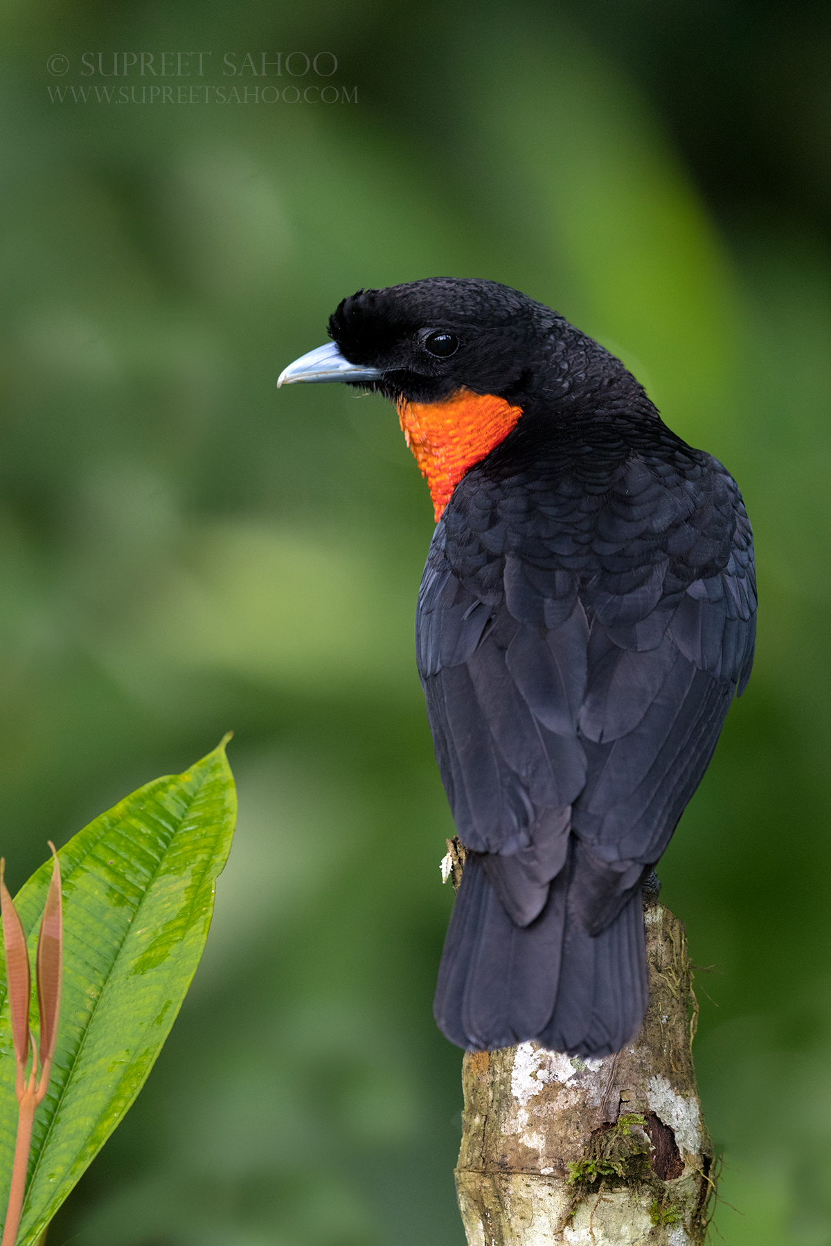 Red ruffed fruitcrow