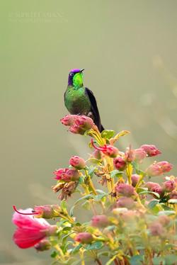 Purple backed thornbill