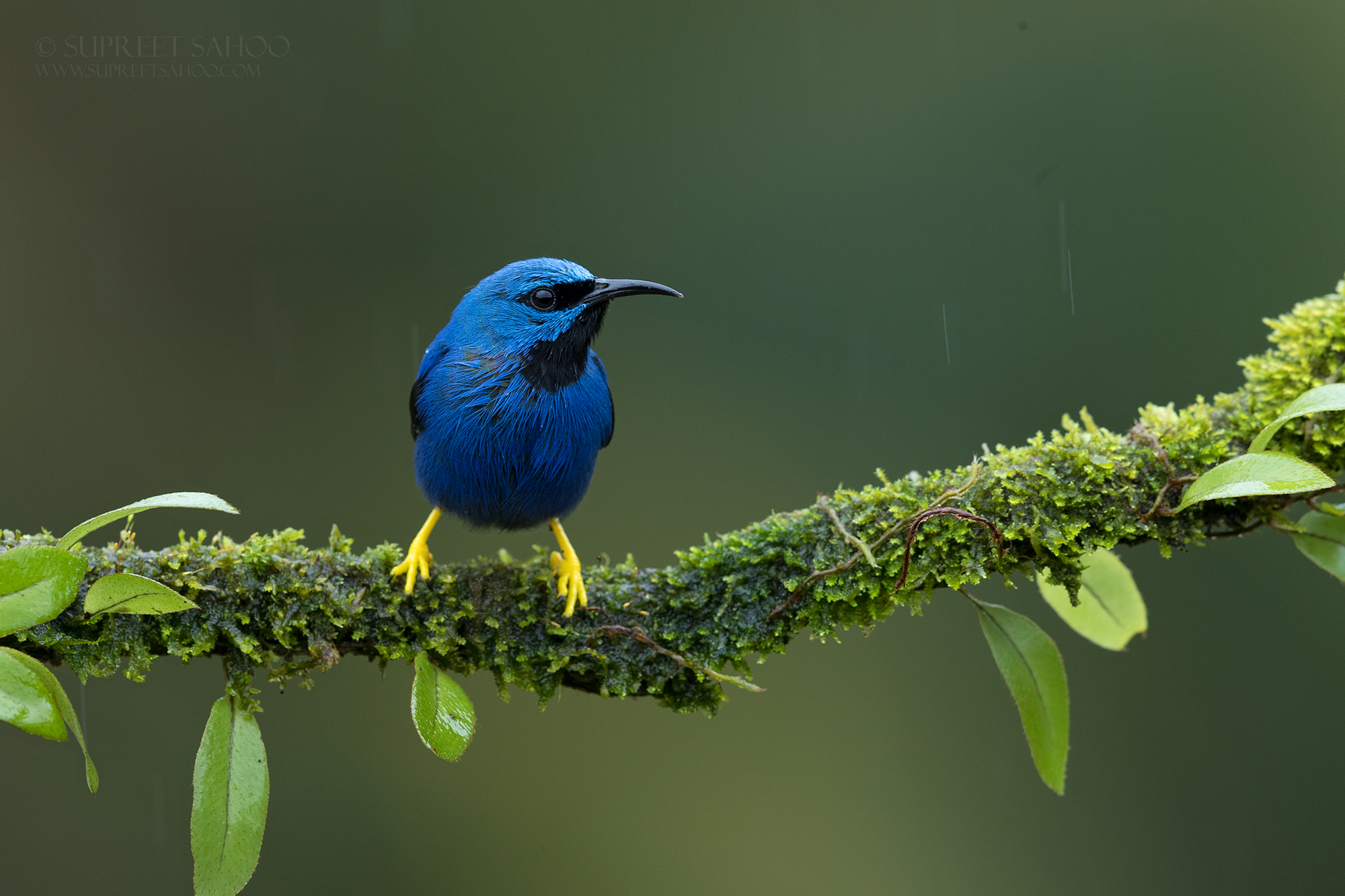 Shinning Honeycreeper