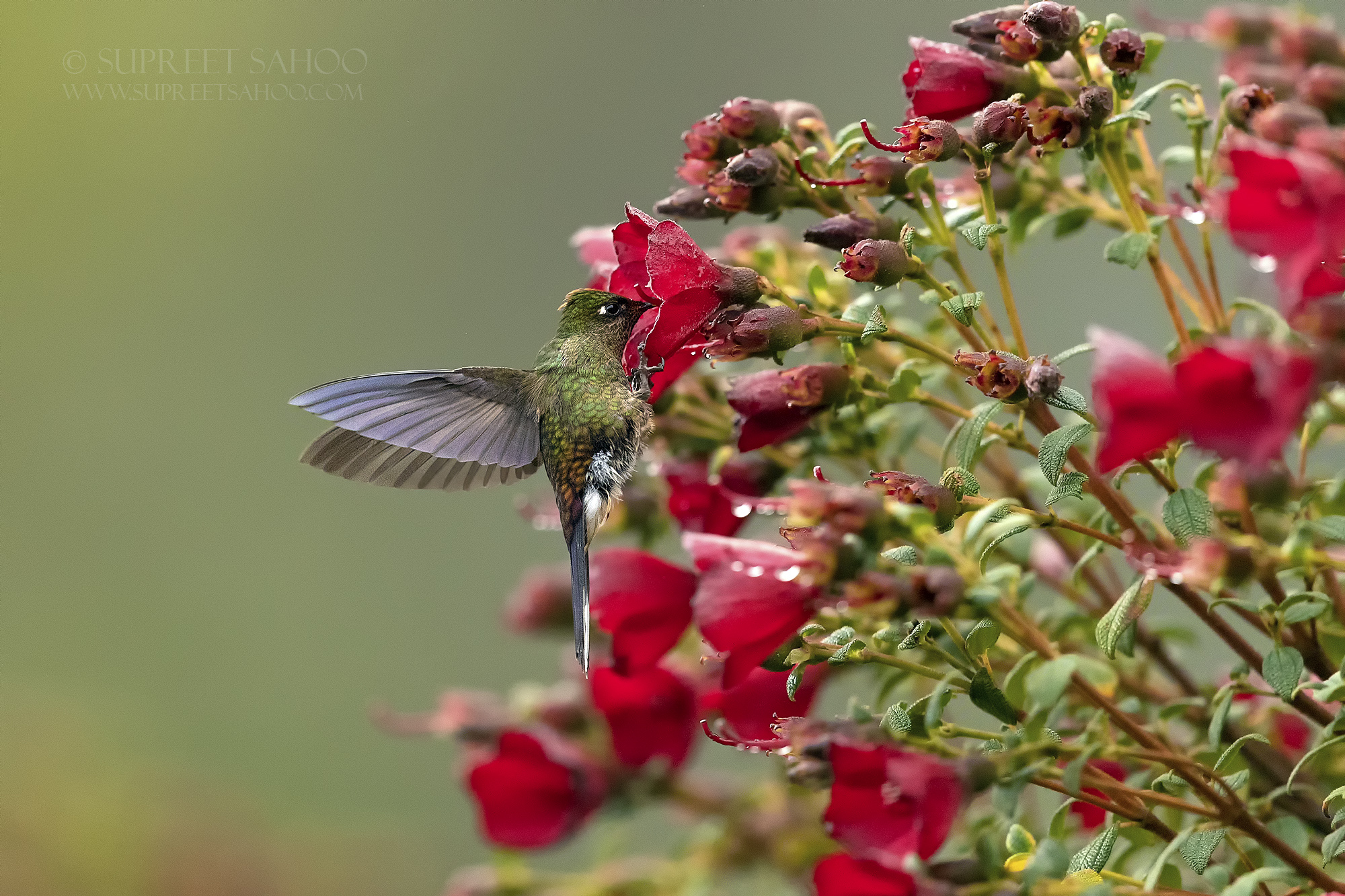 Rainbow bearded thornbill