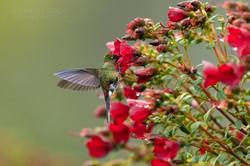 Rainbow bearded thornbill