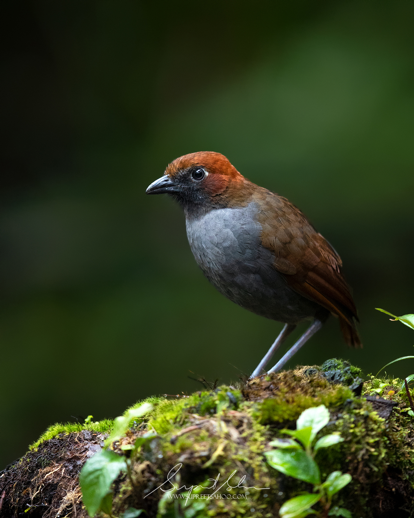 Chestnut naped antpitta