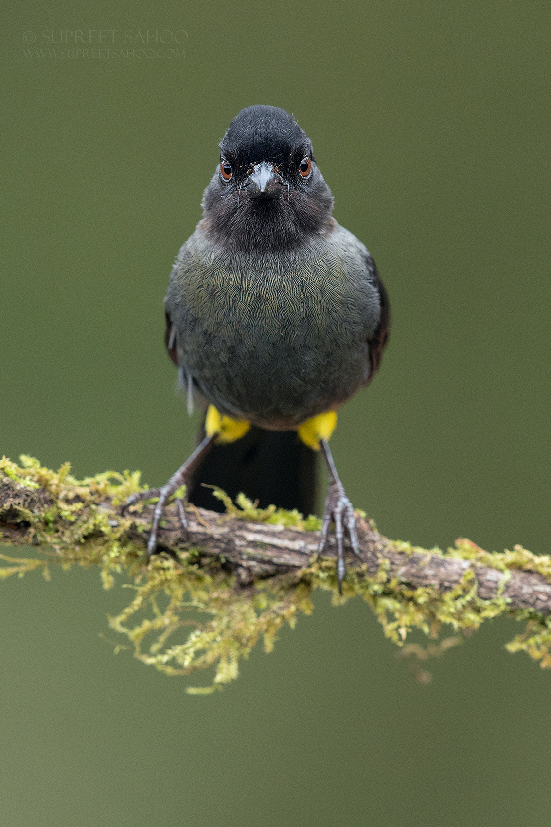 Yellow-thighed brush finch