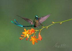 Long tailed sylph