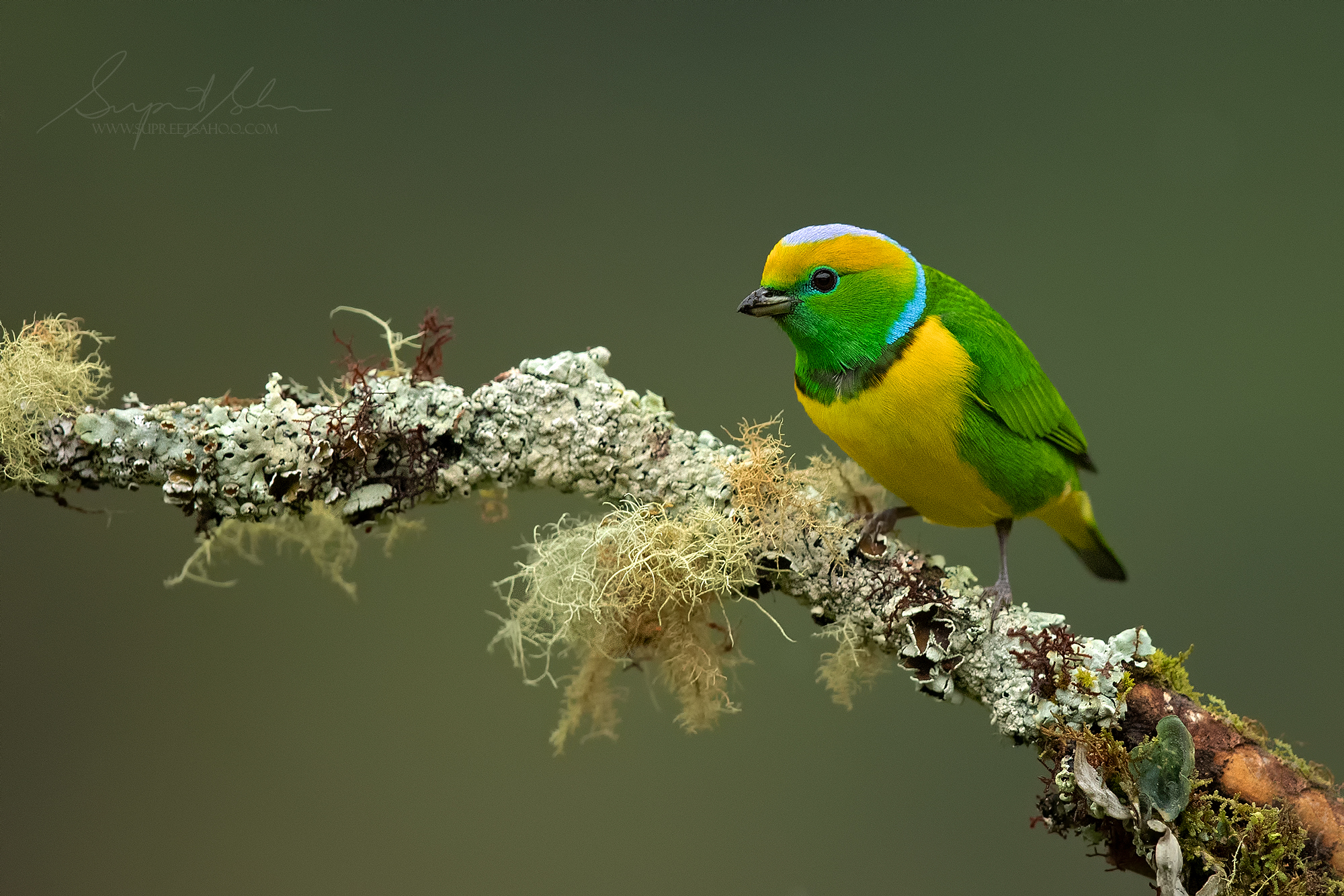 Golden browed chlorophonia