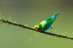 Multicolored tanager
