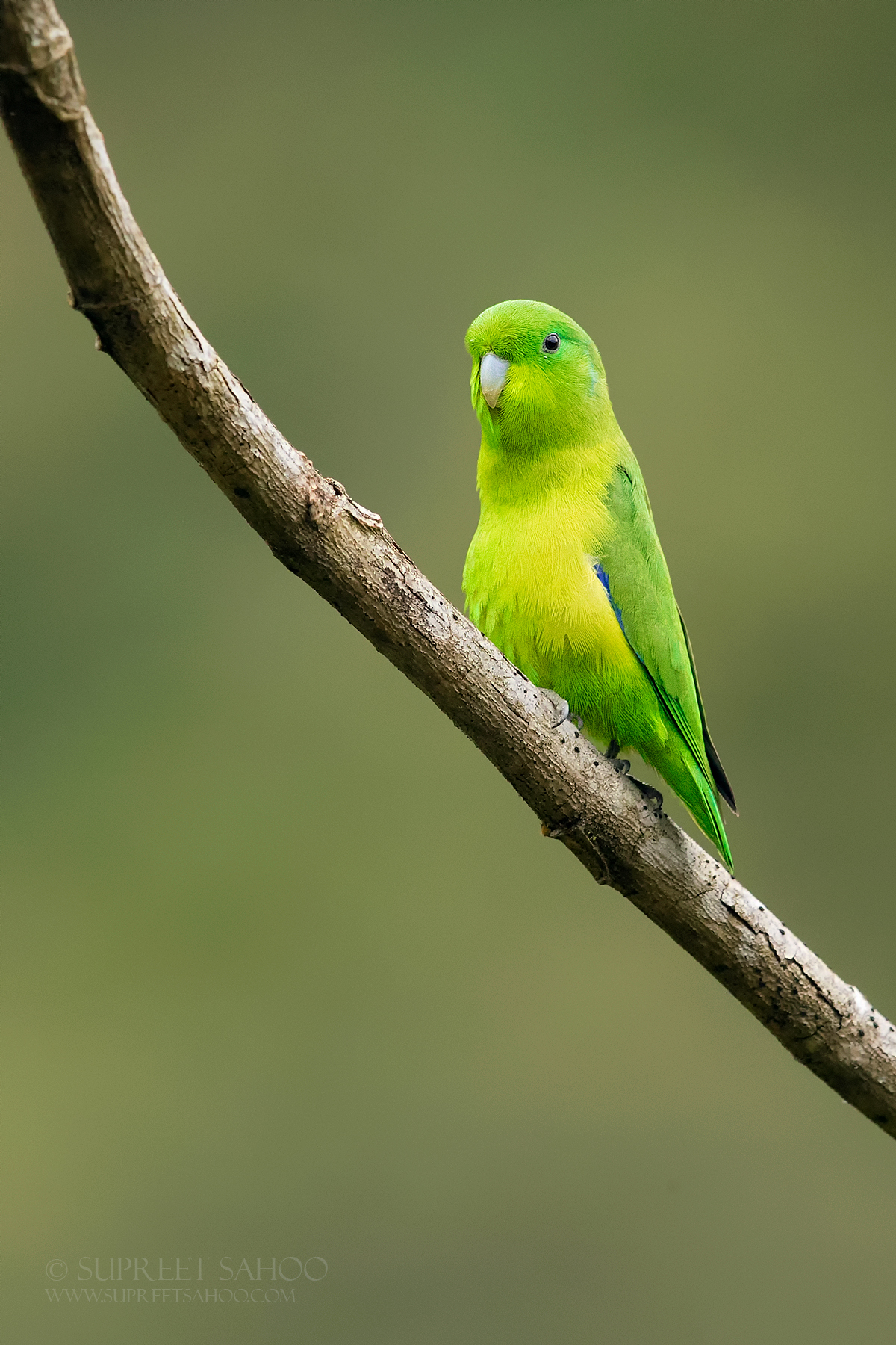 Blue winged parrotlet