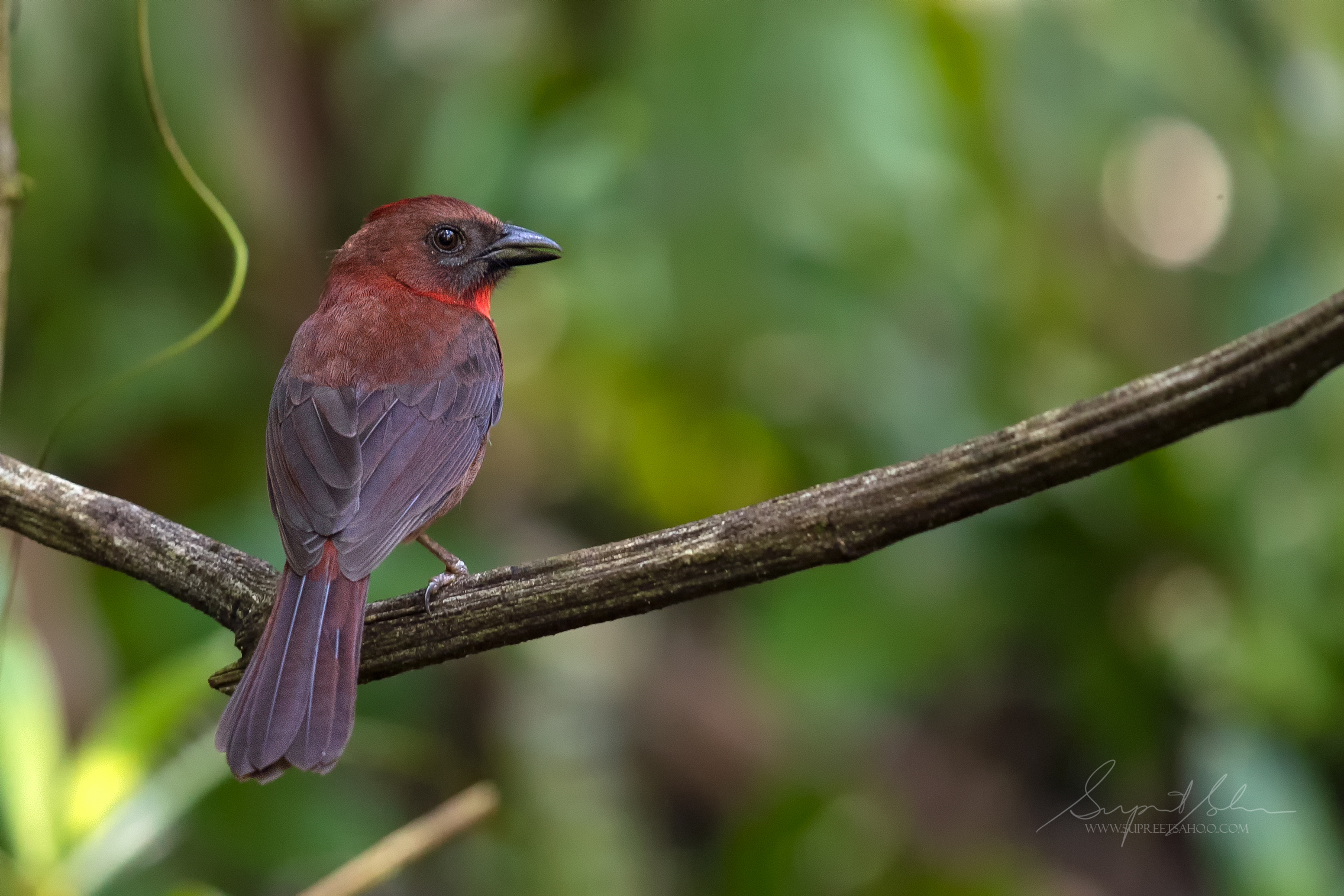Red crested antbird