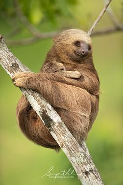 2 toed sloth