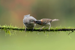 Rufus collared sparrow and bronzed cowbird