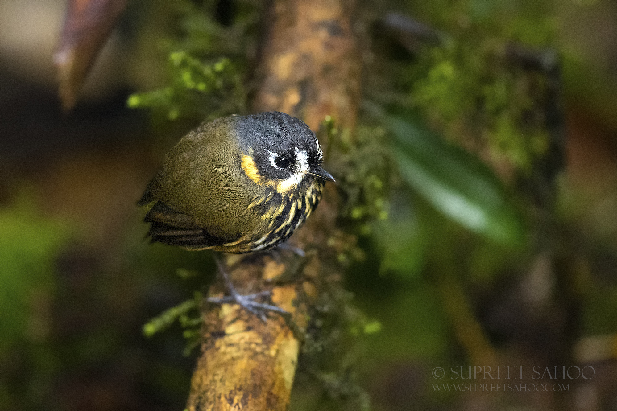 Crescent faced antpitta