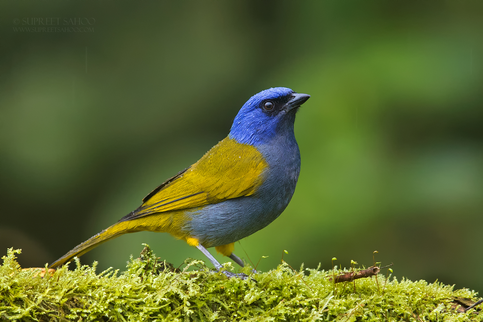Blue capped tanager