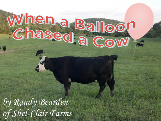 When a Balloon Chased a Cow