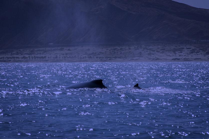 ProDelphinus whales