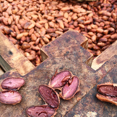 Sur les plantations de cacao au Brésil