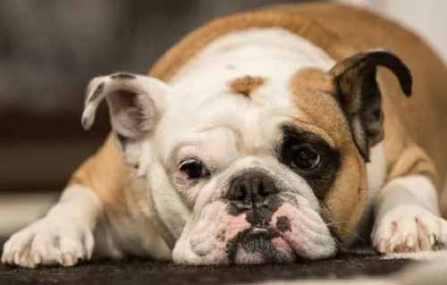 Leishmaniosi-canina-cinisello-balsamo-cinisellonline