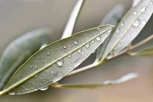 foglie di ulivo proprietà terapeutiche