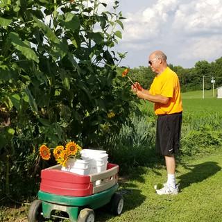 sunflower harvest.jpg