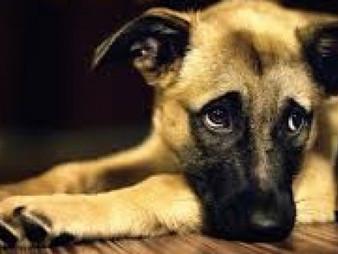 Treinar o cão para ficar sozinho em casa