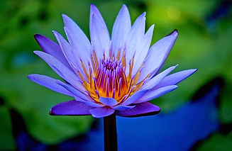 blue-lotus-flower-entheogen-of-ancient-e