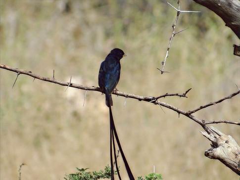 Steel-blue Whydah