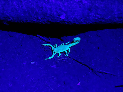 spot-scorpions-at-koros-camp-kenya-things-to-do-in-turkana