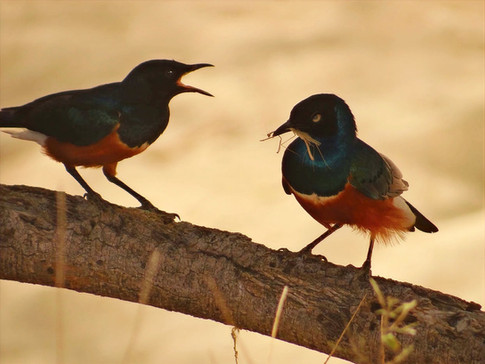 Superb Starling feeding its' young