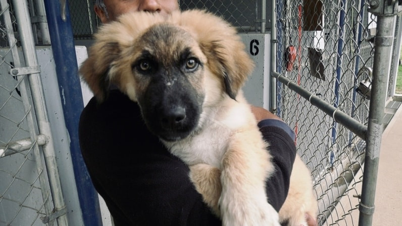 Photo of one of six German Shepherd puppies that have been rescued near Port Alberni