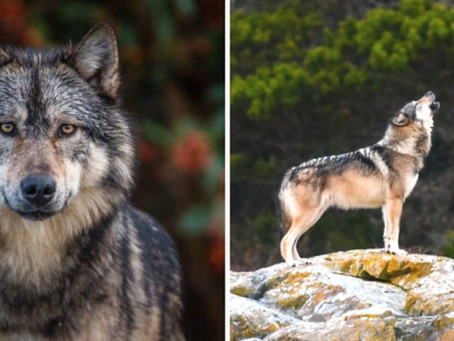 Local animal lovers react to the killing of BC's iconic lone wolf Takaya