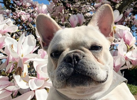 12 Adorable Pictures of Vancouver Dogs Enjoying The Cherry Blossoms