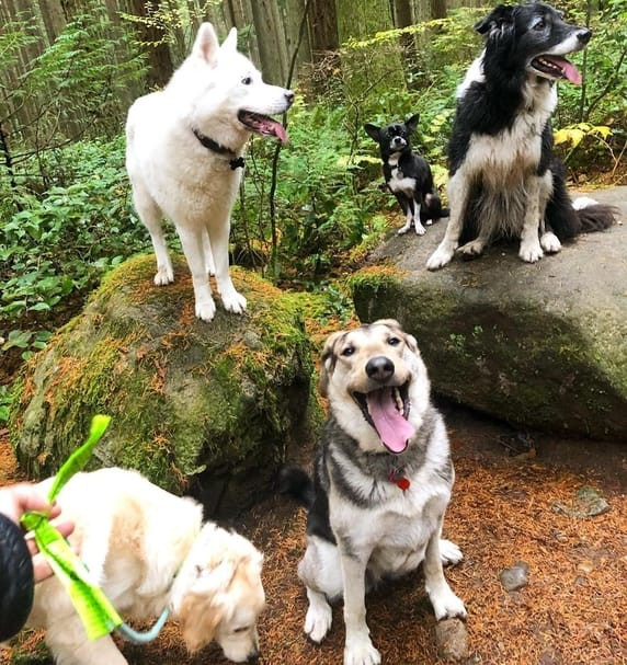 Five dogs hiking at Pacific Spirit Regional Park