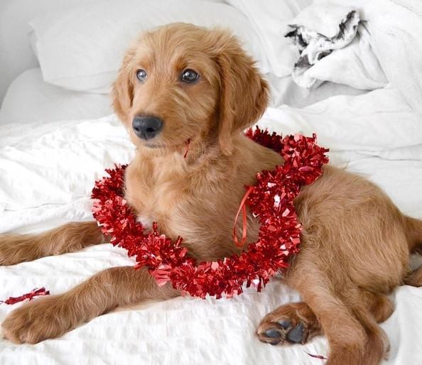 Dog on Valentine's Day