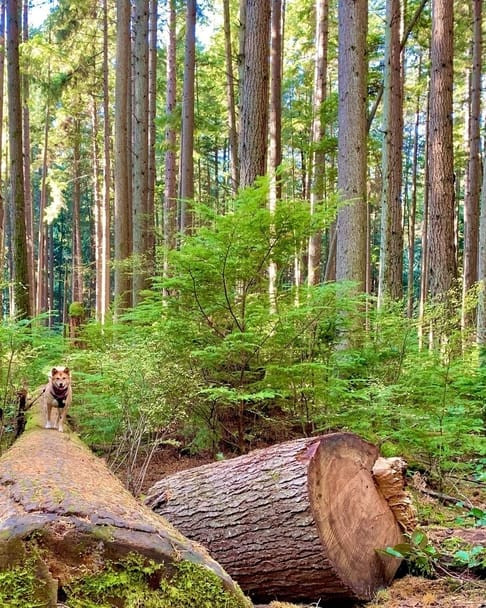 Dog hiking at Pacific Spirit Regional Park