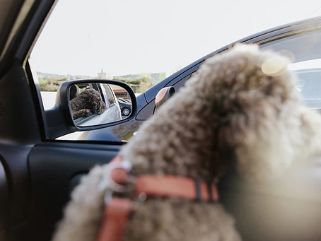 BC SPCA warns life-threatening effects of dogs being left in hot cars