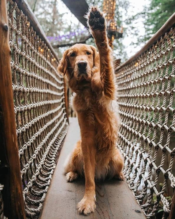Dog enjoying Capilano Suspension Bridge as a Vancouver tourist attraction for dogs