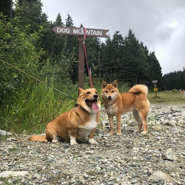Dogs ready to start hiking in one of the best dog friendly attractions in Vancouver, Dog Mountain
