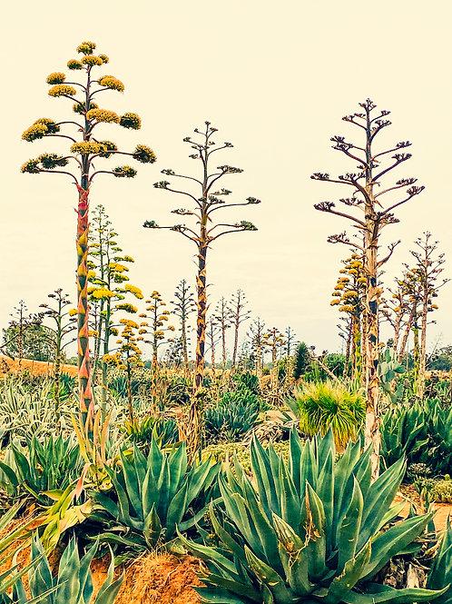 'Cacti Ⅲ'  by Tanya Rose