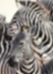 Kate-Jenvey-colour-pencil-zebras.jpg