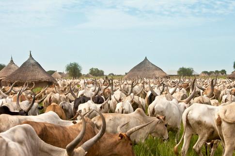 cattle-drive-in-south-sudan-P3ULU48.jpg