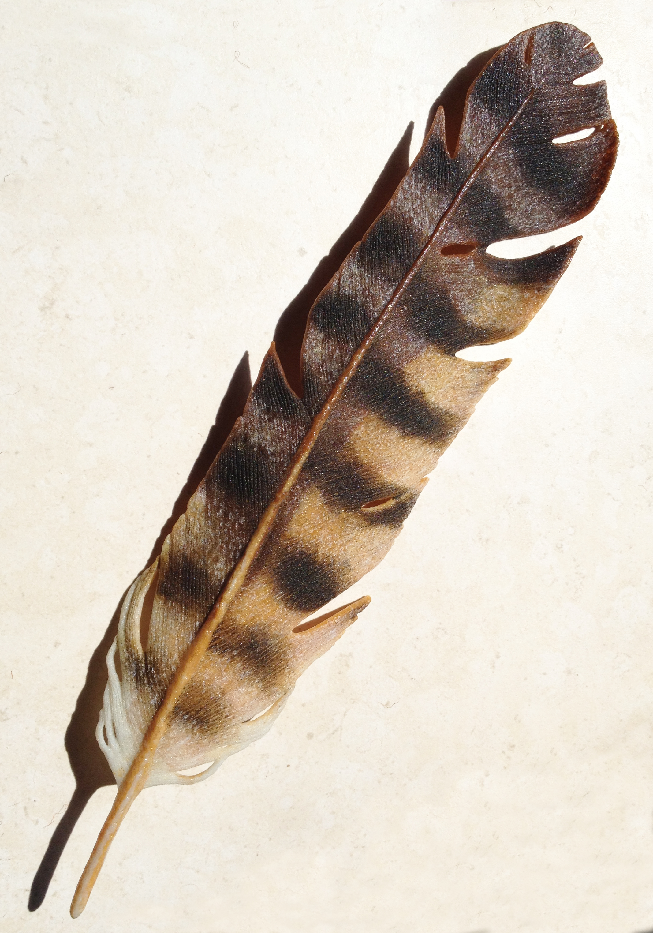 Great Horned Owl Feather