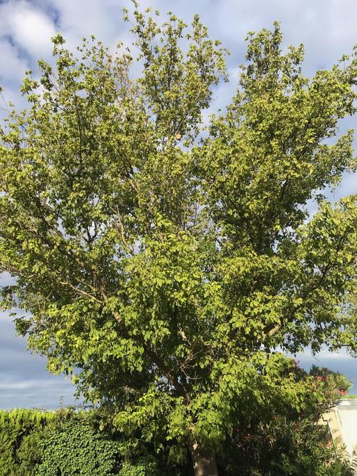 Frelons asiatiques dans les arbres