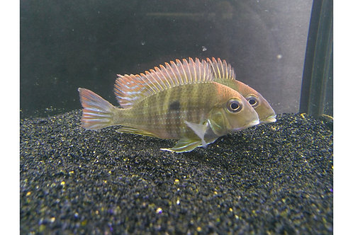 "Red Head Tapajo Geophagus 1""-1.25"""