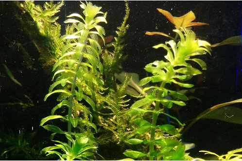 Anacharis Elodea