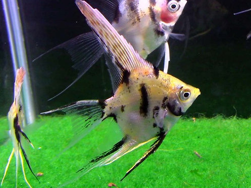 Gold Marble Angelfish Long Fin